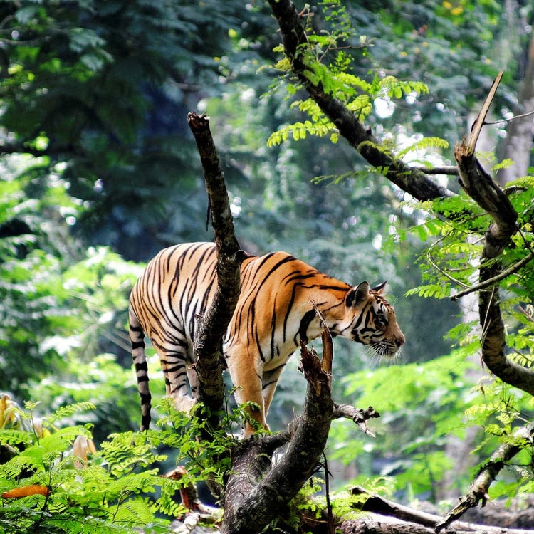Экскурсия к тиграм и слонам, Индия
