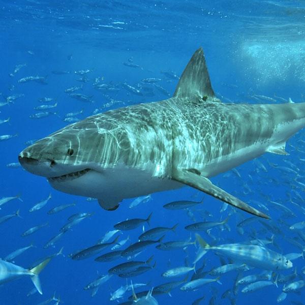 Акулы в ОАЭ, в Персидском заливе